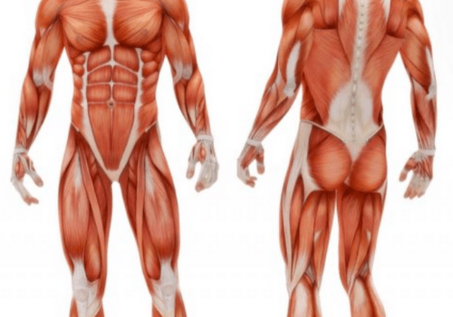 CONTROLLING THE MUSCLES